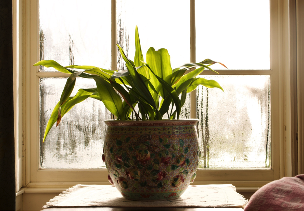 house plant in front of a window with condensation